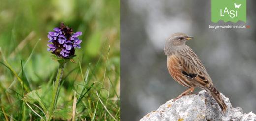 Braunelle Vogel oder Blume?