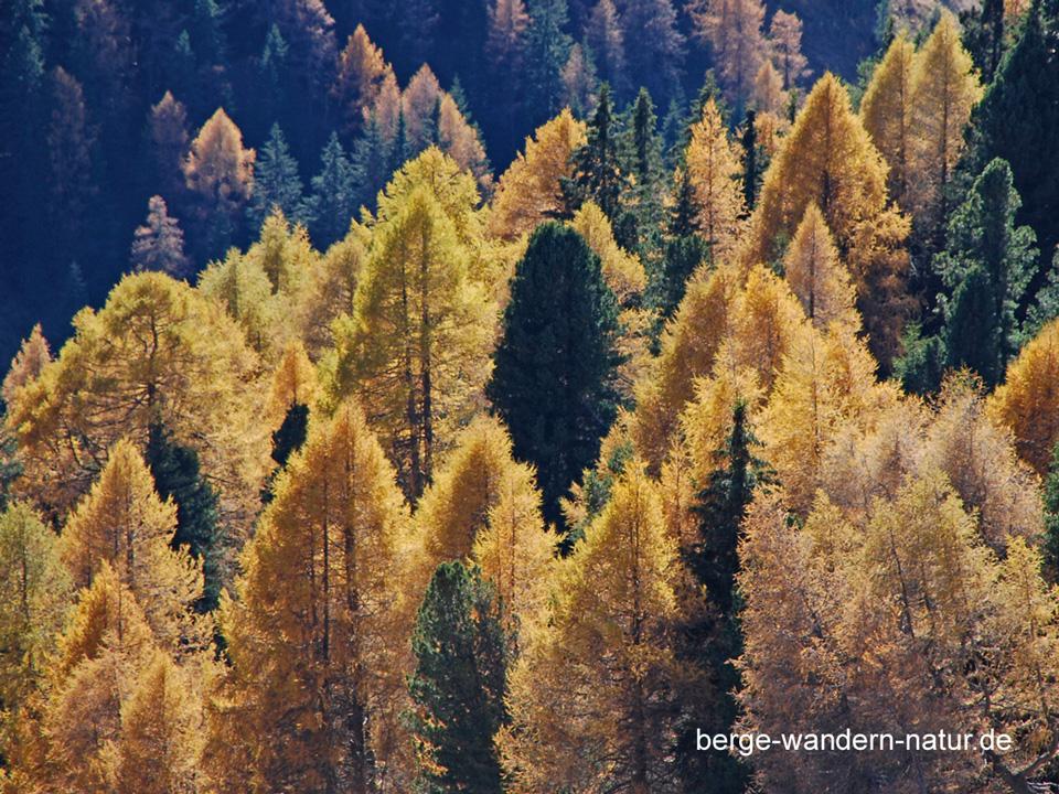 im winter seine nadeln abwerfen nadelbaum