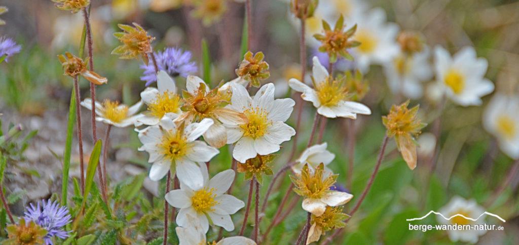 Bergwiese mit Silberwurz und Kugelblumen