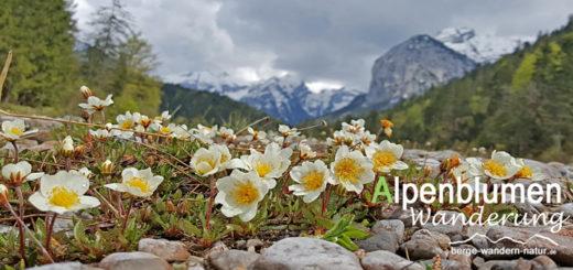 Blumen im Naturpark Karwendel