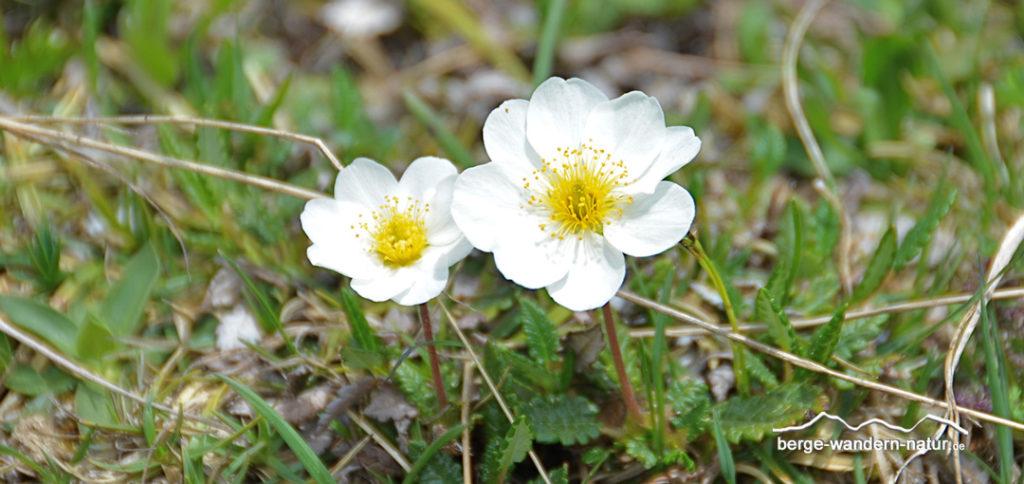 Silberwurz ein Zwergstrauch in den Alpen Familie der Rosengewächse