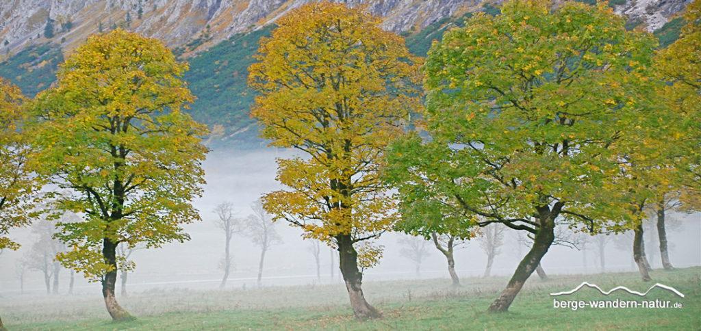 goldener Herbst am großen Ahornboden, Ahornbäume in Herbstfarben
