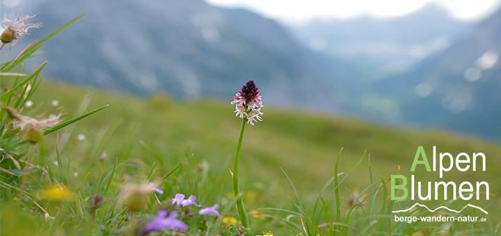 mehr-taegige-alpenblumenwanderung im karwendelgebirge
