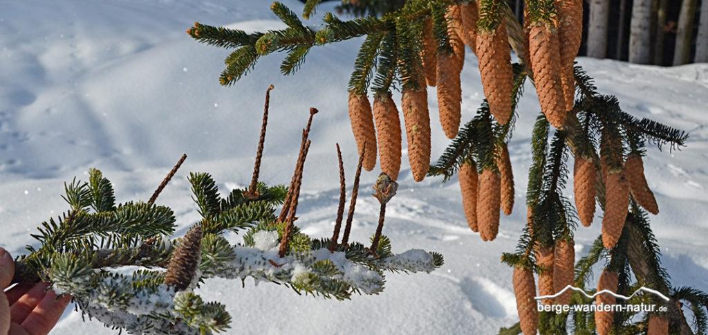 Zweige von einer Tanne und einer Fichte mit den Zapfen