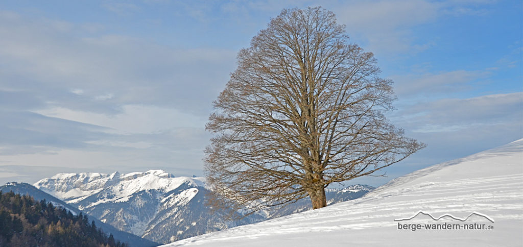 Buche in Winterlandschaft