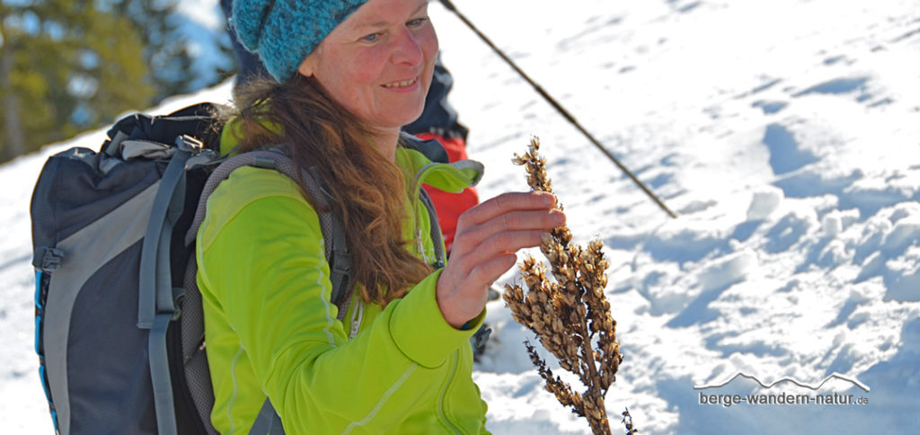 Fruchtstand des weißen Germers, der aus dem Schnee ragt