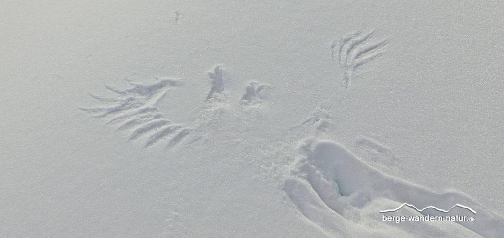Flügelabdruck von einem Kolkraben im Neuschnee