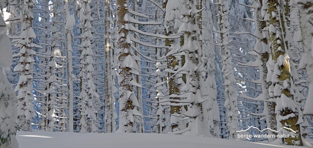 tief verschneiter Fichtenwald