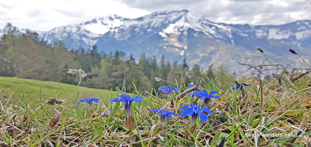 Frühlingsenzian mit Bergpanorama Karwendel