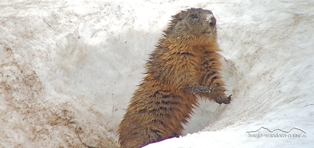 Murmeltier beim Aufwachen in einer Schneehöhle