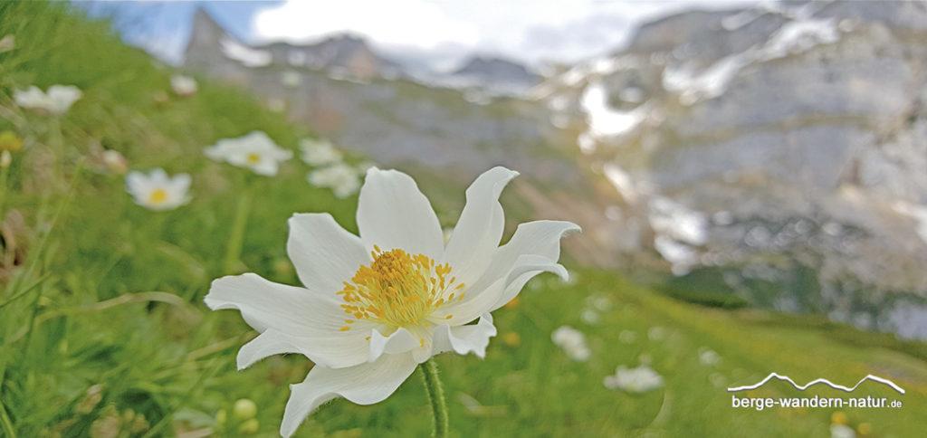 weiße Anemone im Rofangebirge