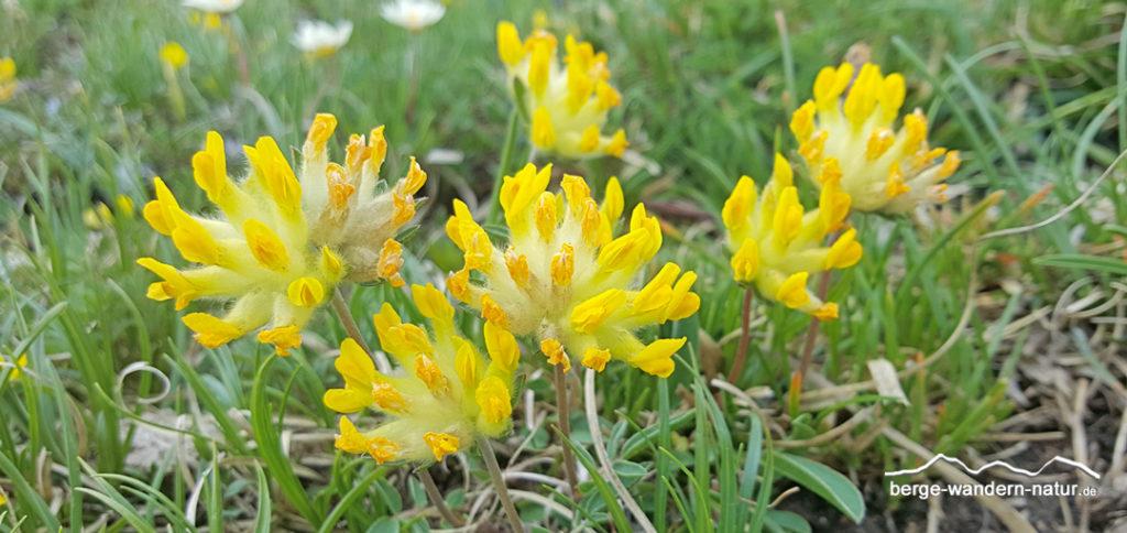 Alpen-Wundklee Familie der Schmetterlingsblütler