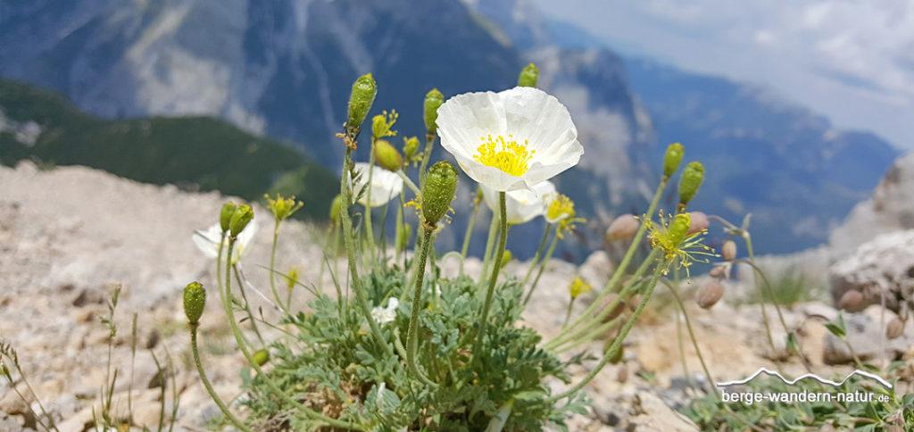 weißer Alpenmohm im Schuttkar