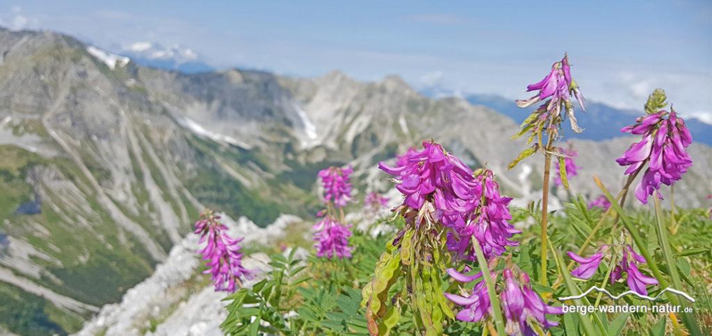 Alpensüßklee im Hintergrund das karwendel
