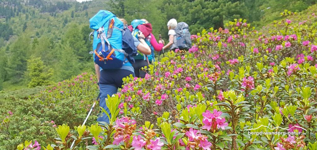 Wandergruppe beim Aufstieg durch Alpenrosen zur Viggarspitze