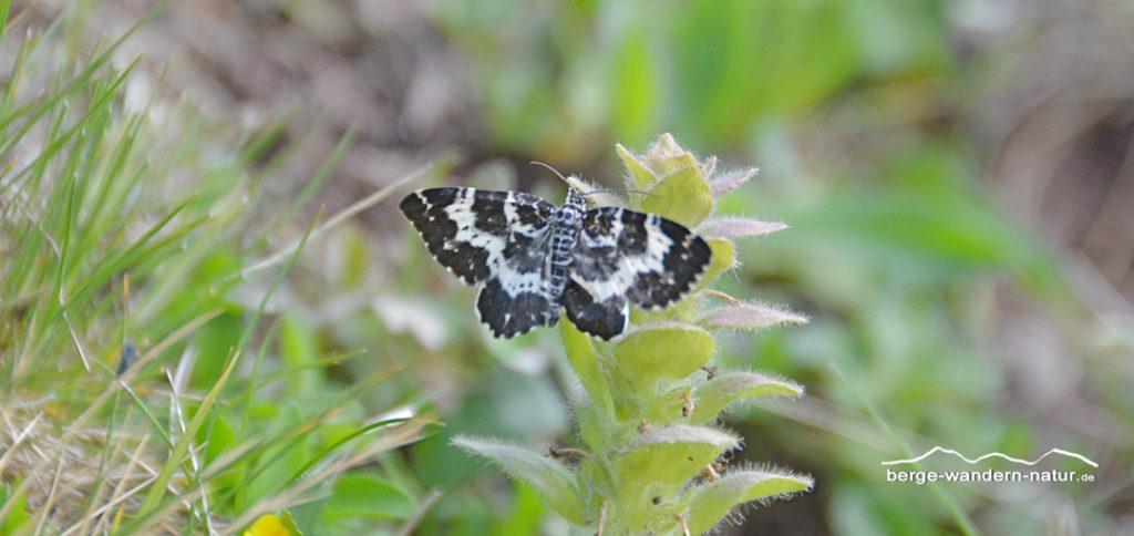 Schmetterling auf Günsel, hier der Labkrautspanner