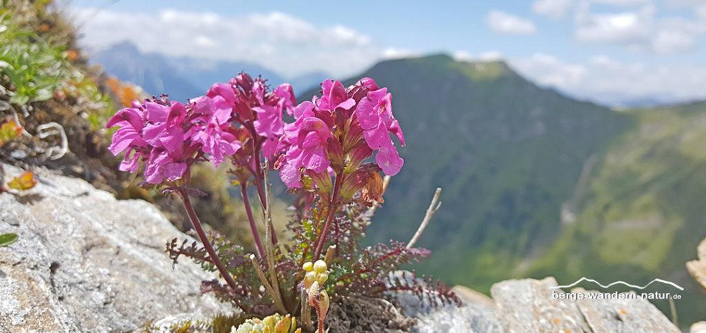 Alpenflora, hier ein Läusekraut. Im Hintergrund die Schafseitenspitze