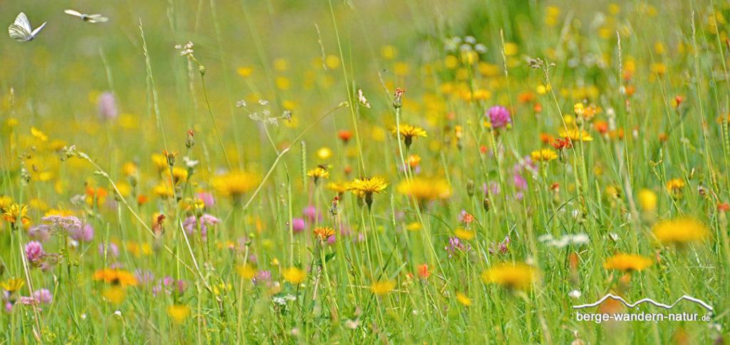 Artenvielfalt in einer Magerwiese