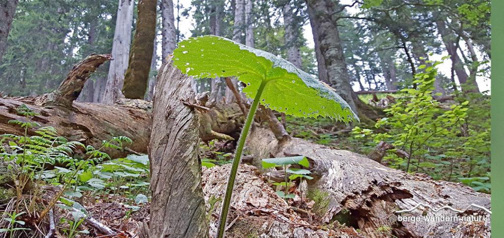 Alpendostblatt im Bergmischwald