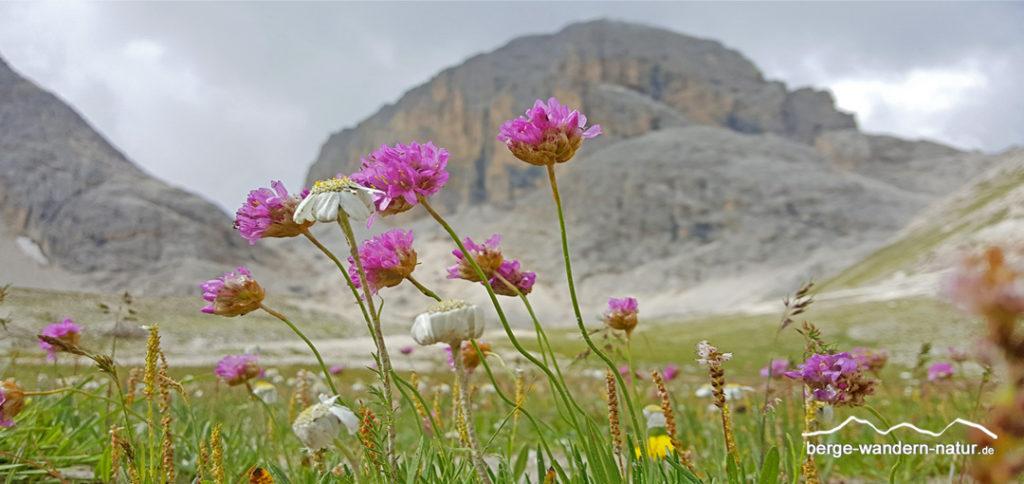blühende Almwiesen vor Dolomitenfelsen, hier die Grasnelke