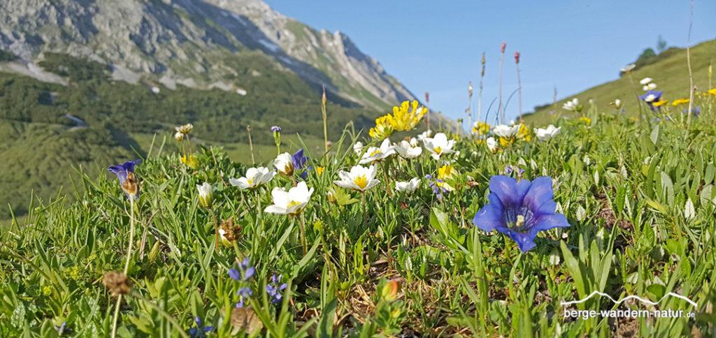 Alpenblumenwiese im Karwendel hier auf der Hochplatte