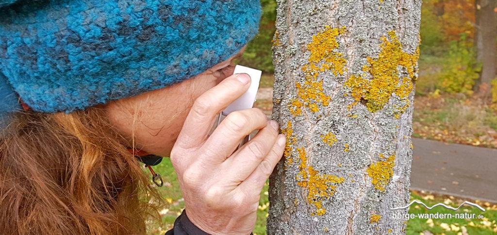 Flechte am Baum mit Lupe betrachtet