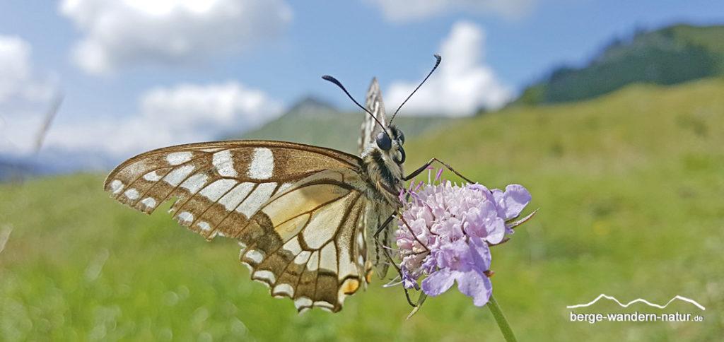 Schmetterling auf Karbblütler