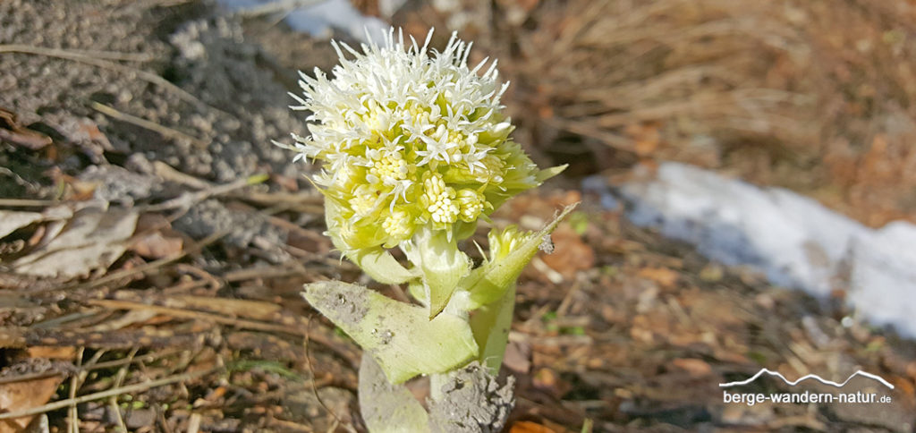 weiße Pestwurz Korbblütler