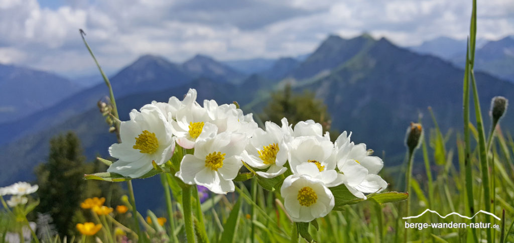Narzissenblütriges Windröschen oder Berghähnchen