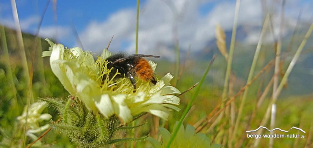 Endivienhabichtskraut mit Wildbiene/Hummel